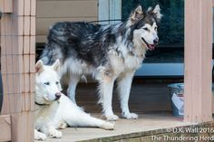 Is someone watching you all of the time? #dog #siberianhusky #husky