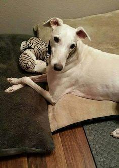 Takoda, fka Iowa, works that greyhound face for his forever mamma.  #greyhounds #galtx