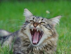 Aggressive pet cats can be a serious cause of concern for cat parents. Vets define aggression as threatening behavior towards other cats or humans. It's a very common problem. Kittens Cutest, Cute Cats, Funny Cats, Cat Whisperer, F2 Savannah Cat, Angry Cat, Cat Care Tips, Cat Behavior, Animal Behaviour