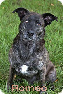 Mason, MI - Dutch Shepherd Mix. Meet Romeo, a dog for adoption. http://www.adoptapet.com/pet/13311363-mason-michigan-dutch-shepherd-mix