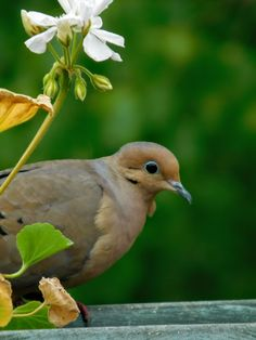 The lovely mourning dove.'s photo Pictures Of Turtles, Mourning Dove, Turtle Dove, Spring Is Here, Nests, Bird Watching, Bird Feathers, Pet Birds, Cute Animals