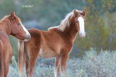 Photo by Helmut Hussman.  Salt River wild horses, Arizona.