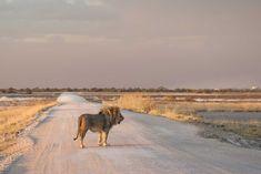 Male lion in Namutoni, Etosha, Namibia.