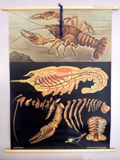 Vintage School Crawfish Anatomy Chart by RetroLuxeHome on Etsy, $285.00
