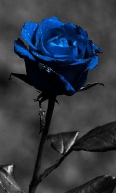 #Rosa_azul