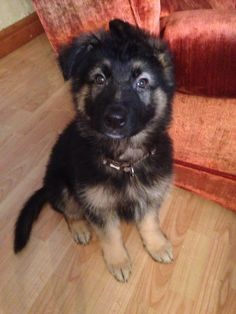 My new home #gsd #puppy