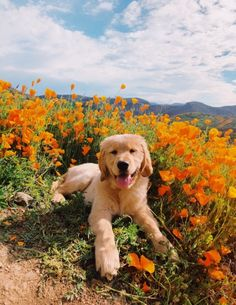"""Excellent """"Golden Retriever dogs"""" info is readily available on our site. Check it out and you wont be sorry you did. Cute Baby Animals, Animals And Pets, Funny Animals, Funny Dogs, 9gag Funny, Wild Animals, Golden Retrievers, Golden Retriever Puppies, World Cutest Dog"""