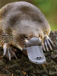The platypus has a soft, toothless rubbery bill; webbed feet; and an inner and outer layer of fur. The platypus is one of only two mammal species on the planet who lay eggs rather than giving birth to live young.