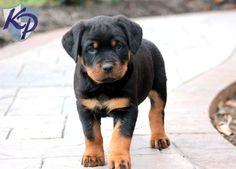 Boss – Rottweiler Puppy http://www.keystonepuppies.com #keystonepuppies #rottie