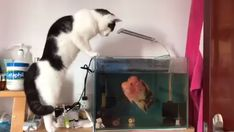 Cat & Fish funny video - Funny And Healthy Funny Animal Videos, Cute Funny Animals, Funny Animal Pictures, Funny Dogs, Cute Cats, Funny Vid, I Love Cats, Crazy Cats, Animals And Pets