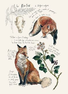 Natural Study Red Fox Print is part of Animal drawings - Printed on Natural Savoy Cotton Paper, this print features one of my Natural Science journal entries of the Red Fox Originally drawn in watercolor and ink Dimensions 5 x 7 Fuchs Illustration, Flamingo Illustration, Simple Illustration, Art Illustrations, Animal Drawings, Art Drawings, Animal Sketches, Animals Tattoo, Arte Sketchbook