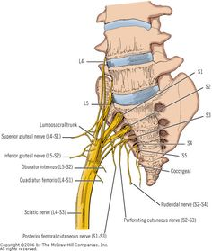 Sacral Nerves can be irritated by sacrum problems such as SIJD or Sacroiliitis. This includes the Sciatic Nerve (L4-S3) and Pudendal Nerve (S2-S4). | Great illustrations on this site.