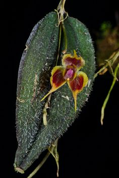 Lepanthes fiskei - Flickr - Photo Sharing!