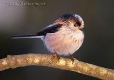Long-tailed Tit Aegithalos caudatus - Google Search