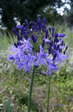 Find help & information on Agapanthus 'Timaru' African lily 'Timaru' from the RHS African Lily, Garden Bulbs, Magnolia, Purple Garden, Agapanthus, Small Gardens, Trees To Plant, Beautiful Flowers, Seeds