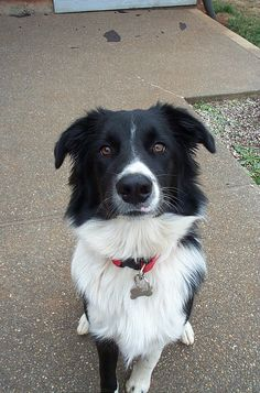 reminds me of my katie girl. :) less white fur though. so cute! Boarder Collies make the best dogs <3
