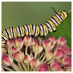 Hello, My Name is ____ and I'm Addicted to Raising Monarchs!  If you're reading this, you might know somebody that can fill in the sentence above…that person might even be you? See our '7 signs you're addicted to raising Monarch Butterflies' and find out if your 'friend' will ever be cured?