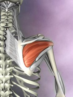 The infraspinatus muscle attaches to the posterior part of the scapula and into the posterior part of the head of the humerus. It externally rotates the shoulder. www.realbodywork.com