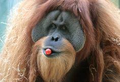 Tierpark Hellabrunn in München: Der Orang-Utan Bruno zeigte sich bei der Einweihung des Orang-Utan-Geheges mit einer Tomate im Mund.
