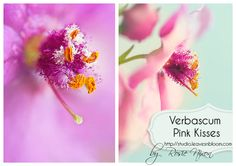 Verbascum 'Pink Kisses' macro photography