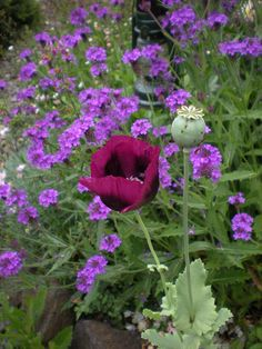 "Verbena Rigida (perennial) & Papaver ""Lauren's Grape"""