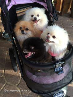 Rollin' Pomeranian style #pomeranian Follow us on Facebook @ https://www.facebook.com/snoop.pomeranian