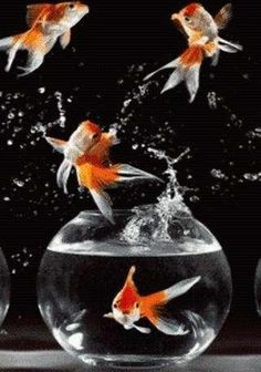 <3 Family Goldfish : Its Dizzy, Pansey, Fizz and Bubbles <3