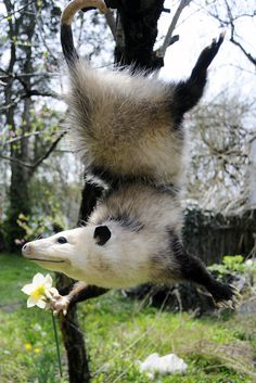 Perfeckly posed possum (with pretty flahr).I bet he just got a massage.