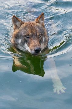 Stop Killing Wolves! Wolf Photos, Wolf Pictures, Cute Wild Animals, Animals And Pets, Beautiful Wolves, Animals Beautiful, Der Steppenwolf, Tier Wolf, Wolf Hybrid