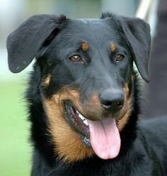 Beauceron Pictures | BeauceronDogs Cats Pet Shops: Information about Cats and Dogs