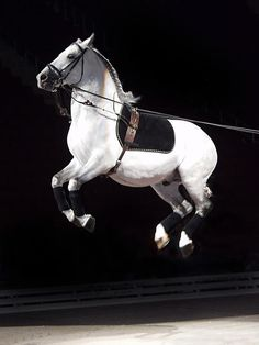 Lipizzan Stallion the only horse that can fly :0) I saw this happen in Fort Wayne, IN on Sept. 12 2014