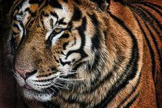 #elfoton14 #categoría #Fauna En el Concurso de Fotografía Elfoton.es tenemos 9 categorías para que todo el mundo encuentre la suya. #Instagram #sinfiltros Participa en http://elfoton.com Usuario: Angel (España) - rayas 02 - Tomada en Cantabria el 02/10/12