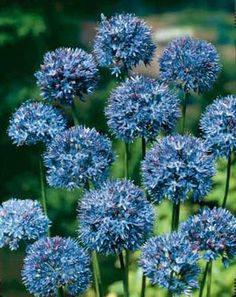Allium azureum, a clear blue, 14', early summer, plant in groups