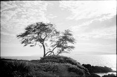 Tree  January 14, 2012  Leica M7  Maui.