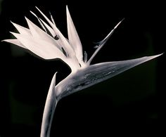 robert mapplethorpe flowers - Google Search