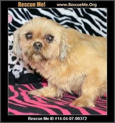 Jonquil (male)  Shih Tzu  Age: Adult  Compatibility:Good with Most Dogs, Good with Adults (Not Kids) Personality:Low Energy, Average Temperament Health:Neutered, Vaccinations Current  If you are interested in me, please visit my website, www.breederadoptions.org, go to the Available Dogs page, read my Policies and Procedures, complete Adoption Form for me, and my rescuers will contact you promptly. HI! My name is Jonquil and I am sweet Shih Tzu girl who is 9 years old and I…
