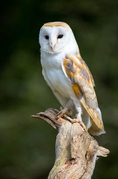 A beautiful Barn owl. - title OWL - by John Davies on 500px