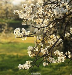 Blue sky, green fields and pear blossoms in full bloom combine to create a beautiful scene at Qifeng Village in Heqing County, Yunnan Province. The county is renowned for its great variety of famous trees thanks to unique weather conditions and a long history of growing.  http://www.chinatraveltourismnews.com/2016/03/pear-blossoms-add-color-to-idyllic.html