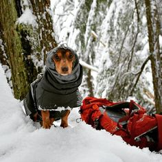 Ok... the Hurtta Extreme Warmer is funtional but it's also freaking adorable on a little dog ❤️ I just can't even  #youdidwhatwithyourwiener #littledogshiketoo #adventurewiener #hurttanorthamerica #hurttaamerica