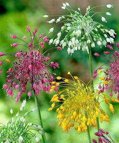 #Allium '#Fireworks' Mixed | Flower Bulbs from Spalding Bulb http://www.roanokemyhomesweethome.com