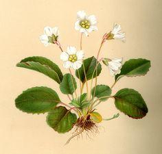 Harvard University Herbaria - Botany Libraries Archives Asa Gray Bicentennial 1810