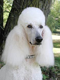 standard poodle size - Google Search