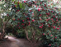 a tunnel of camellia