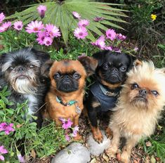 Here's the variety short dog pack. Four different looks, four different personalities. Cute Pugs, Cute Puppies, Dogs And Puppies, Doggies, Brussels Griffon Puppies, Griffon Dog, Animals And Pets, Baby Animals, Funny Animals