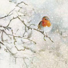 Robin Red Breast - Bug Art greeting card
