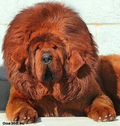 Dogue du Tibet (Mastiff Tibétain)