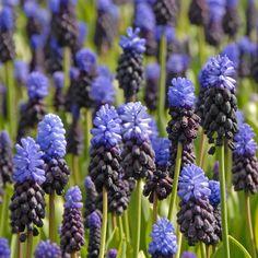 Zweifarbige Traubenhyazinthe Muscari latifolium - oben hell-, unten dunkelblau. Pflanzzeit für die Blumenzwiebeln: Herbst, Erhältlich im Onlineshop www.fluwel.de