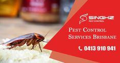 #Cockroaches are one of the most harmful pests found in your home or workplace. Singhz Pest Control provides complete and effective #cockroach control solutions in #Brisbane. 📞 0413-910-941 for a Fee Consultation. #PestControl #PestRemoval