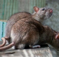 How to get rid of rats - Dr. Axe
