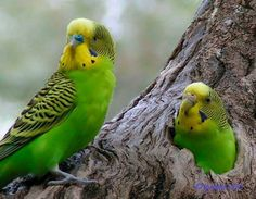 Budgies, very cute couple.